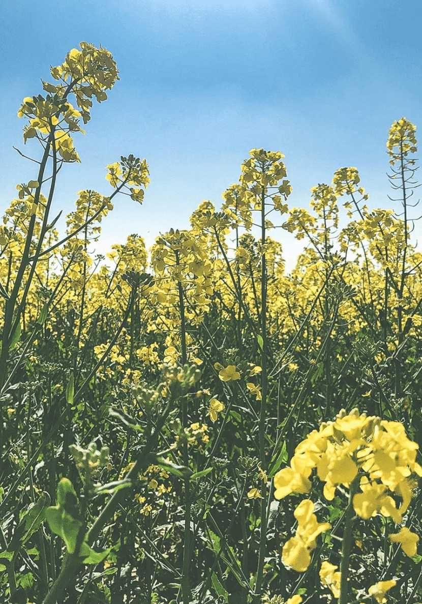 fleurs jaune des champs un matin dans les bois